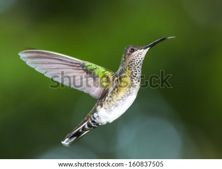 White Chested Emerald in flight - stock photo