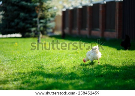 White chicken grazing in green grass on a sunny day - stock photo
