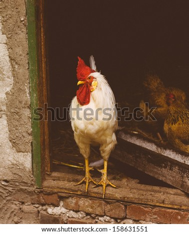 White chicken hen looking out of the barn - stock photo