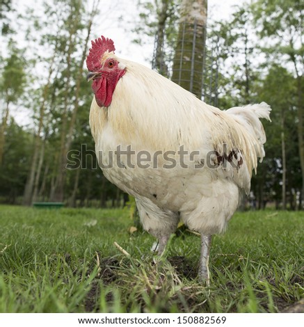 white chicken hen on a farm outside