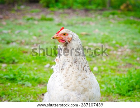 White chicken looking at me in a close view with green grass on the background with a funny curious look suggesting home grown poultry - stock photo
