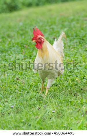 White Chicken on grass - stock photo