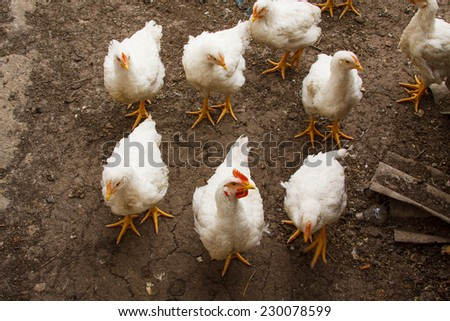 White chicken walking on the ground. Top view - stock photo