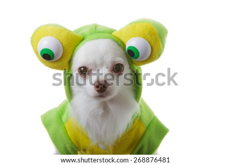 White chihuahua clothing green wear and big eye is funny on isolated background. - stock photo