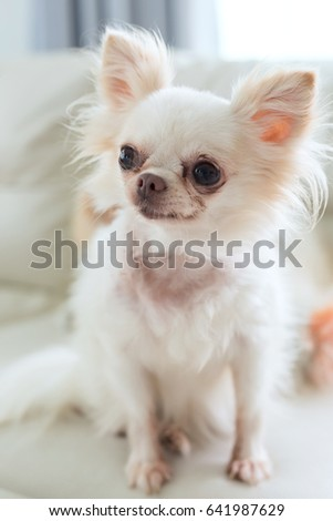 white chihuahua dog cute pet sitting on sofa furniture in living room