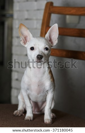 white Chihuahua sits on a wooden chair at home