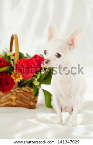 White chihuahua sits on white bedding near wicker basket with bunch of flowers - stock photo
