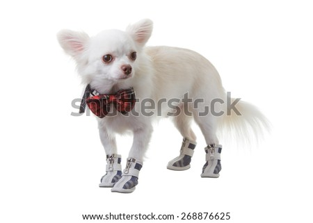 White chihuahua wear red bow tie  is smart on isolated background. - stock photo