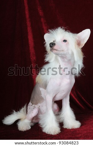 White chinese crested dog full body portrait