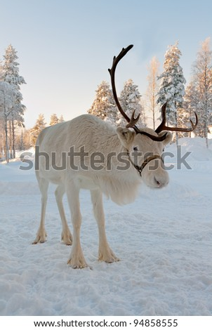 White Christmas deer in the background of snow-covered forest - stock photo