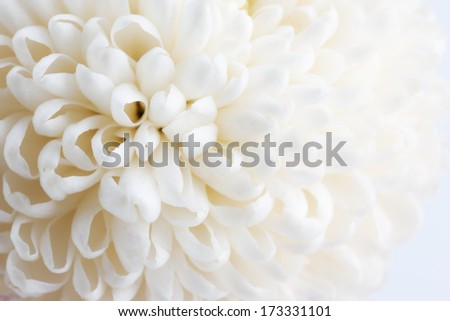 White Chrysanthemum close up - stock photo