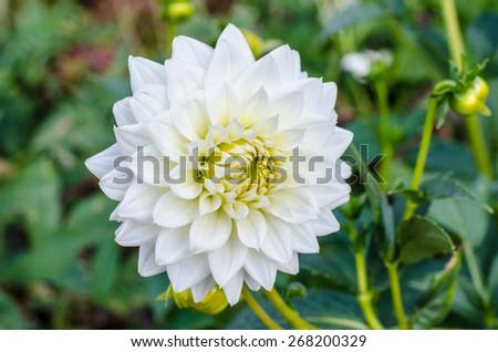 White chrysanthemum flower in full bloom - stock photo