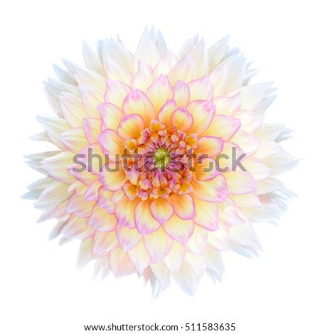White Chrysanthemum Flower with Purple Center Isolated over White Background. Beautiful Dahlia Flowerhead Macro