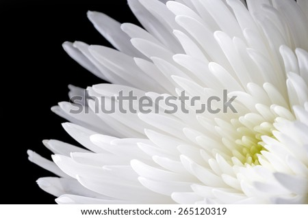 White chrysanthemum flower with translucent petals isolated on black background, closeup - stock photo