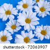 White chrysanthemum flowers background - stock photo
