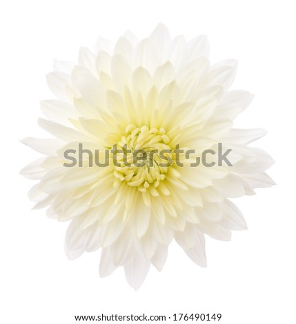 White chrysanthemum isolated in white background. Deep focus. No dust. No pollen.  - stock photo