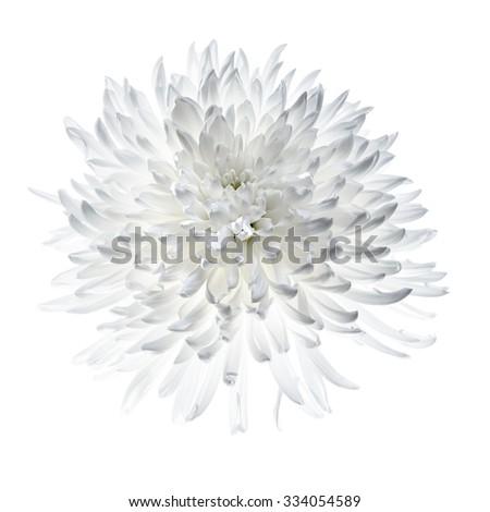 White chrysanthemum isolated on white, backlight make petals glow - stock photo