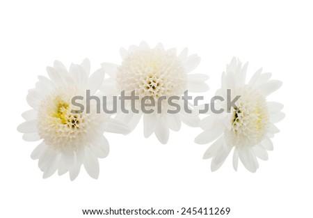 white chrysanthemum on a white background - stock photo
