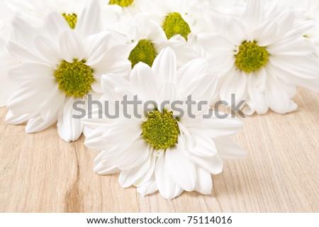 White chrysanthemum - very shallow depth of field - stock photo