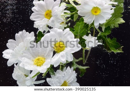 White Chrysanthemum with water drops on a black background