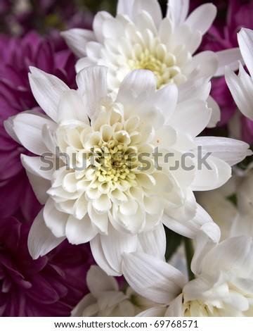 white chrysanthemums closeup, natural background - stock photo