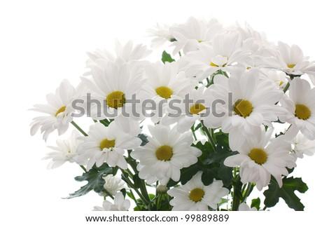 white chrysanthemums isolated on white - stock photo
