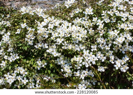 White clematis climbing on the wall - stock photo