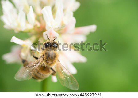 white clover and honey bee