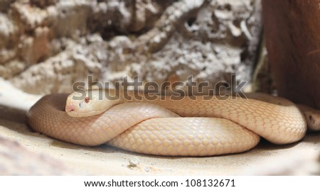 white cobra snake - stock photo