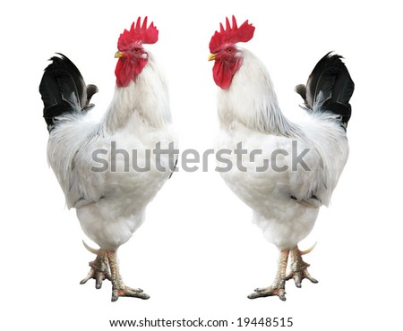 white cock portrait; rooster isolated - stock photo