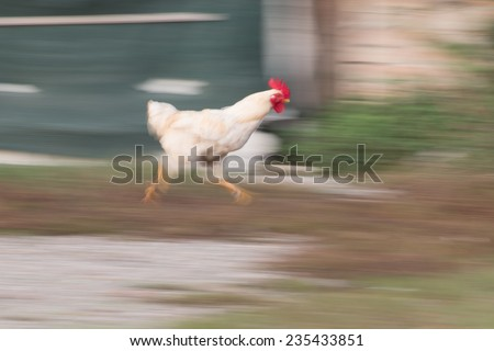 white cock running in the grass in countryside - stock photo