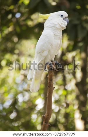 White Cockatoo / Sulphur-crested Cockatoostanding on a branch  - stock photo