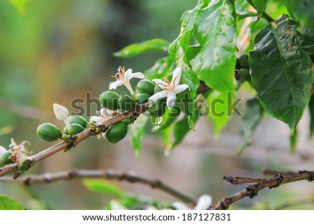 White Coffee flowers and ripe coffee beans on branch with water drop. - stock photo