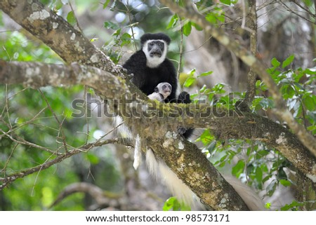 White Colobus monkey mother and baby at Arusha National Park in Tanzania, Africa - stock photo