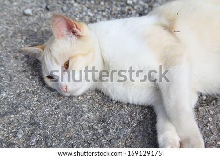 white color cat thai on concrete floor