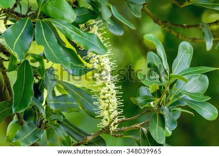 White color of macadamia nut flowers blossom on its tree - stock photo
