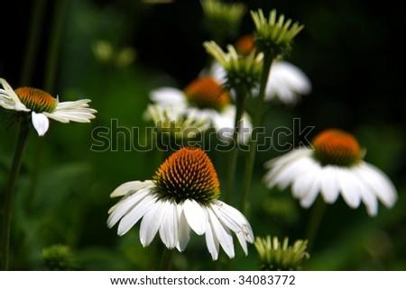 white coneflowers - stock photo