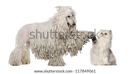 White Corded Standard Poodle and Persian high fiving against white background - stock photo