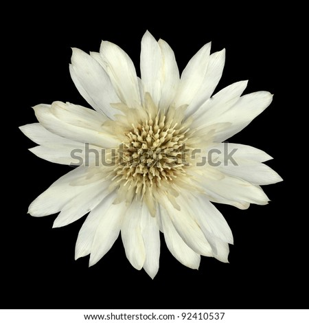 White Cornflower Like Flower Isolated on Black Background