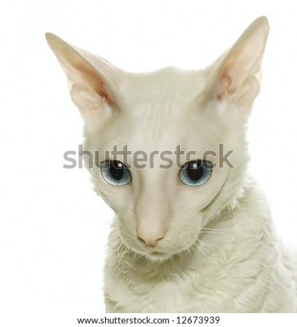 White  cornish-rex - stock photo