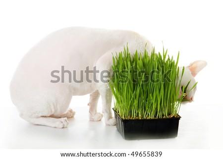 White  cornish-rex's eating grass - stock photo