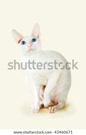 White  cornish-rex with blue eyes - stock photo