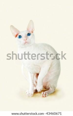 White  cornish-rex with blue eyes - stock photo