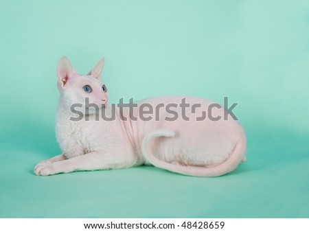 White  cornish-rex with blue eyes looks up