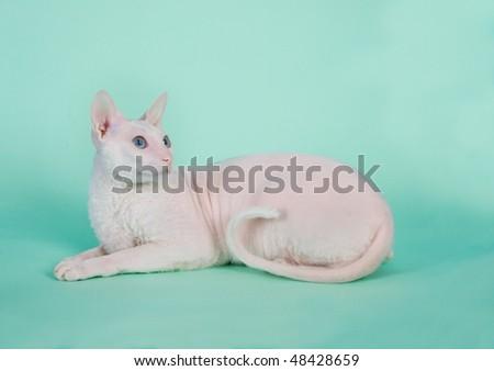 White  cornish-rex with blue eyes looks up - stock photo