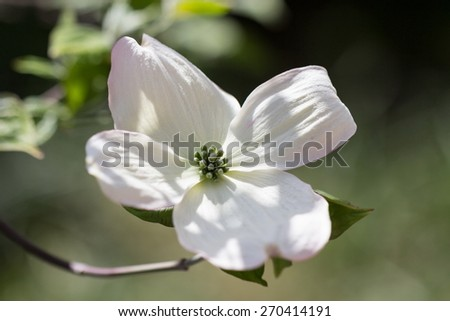 white cornus - stock photo