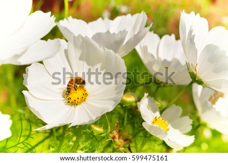 White cosmo flowers honey bee collecting stock photo royalty free white cosmo flowers and a honey bee collecting pollen mightylinksfo