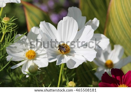 White Cosmos flower with bee