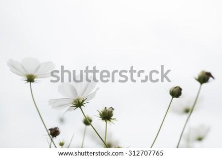 White cosmos flowers  - stock photo