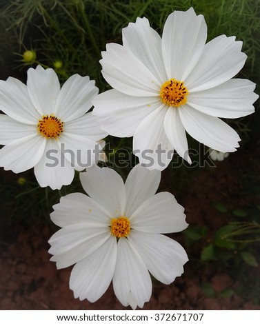 White cosmos flowers stock photo download now 372671707 shutterstock white cosmos flowers mightylinksfo